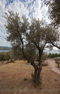 Olive Tree on Mediterranean Sea - Kas, Antalya Province, Turkey, Asia