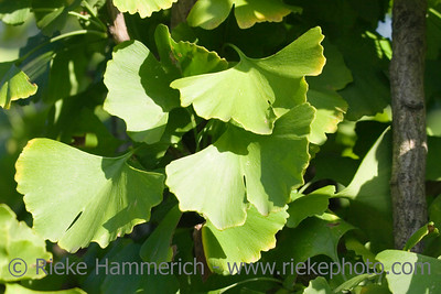 ginkgo leaves - living fossil with many medical uses - adobe RGB