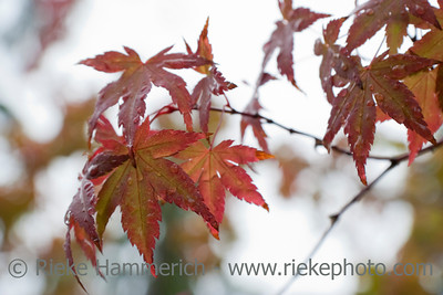 Red Maple - Acer palmatum in Vancouver Island, British Columbia, Canada