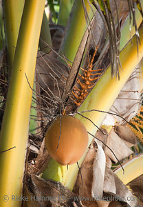 Coconut hanging on Palm Tree - Cocos nucifera - Rarotonga, Cook Islands, Polynesia
