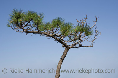 bonsai tree - against a blue summer sky - adobe RGB