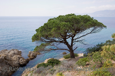 stone pine on the coast of the mediterranean sea - french riviera - adobe RGB