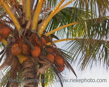 Coconut Palm with Fruits - Cocos nucifera - Rarotonga, Cook Islands, Polynesia