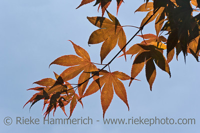 Maple Leaves against blue Sky - Acer palmatum in Dr. Sun Yat-Sen Classical Chinese Garden, Vancouver, British Columbia, Canada