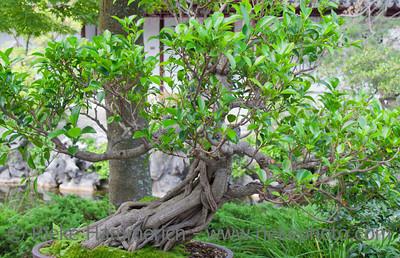 Bonsai Tree - Ficus benjamina in Dr. Sun Yat-Sen Classical Chinese Garden, Vancouver, British Columbia, Canada