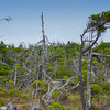 Deadwood in Bog - Shore Pines in Pacific Rim National Park, Vancouver Island, British Columbia, Canada