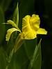 Canna Lily (Canna flaccida)