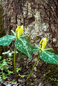 Yellow trilliums bloom profusely in April in the Great Smoky Mountains.