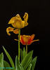 tulip time!<br /> My neighbor's tulips are blooming!
