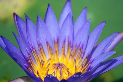 Water Lily. Hue, Vietnam  See more photos in the archive