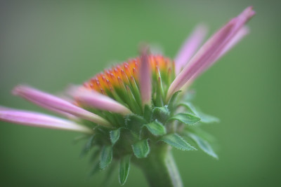 Indiana, USA.  Close-up of purple coneflower.