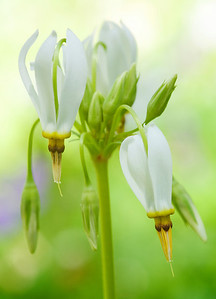These Shooting Stars were found near Schoolhouse Gap Trail in the Great Smoky Mountains.