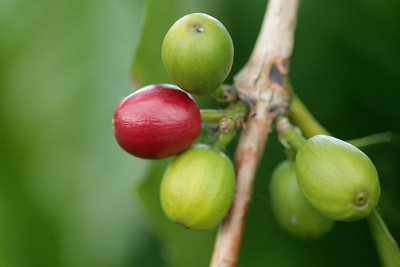 Coffee cherries at Hula Daddy Plantation.  Kona, Hawaii.