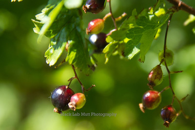 Wild Gooseberries
