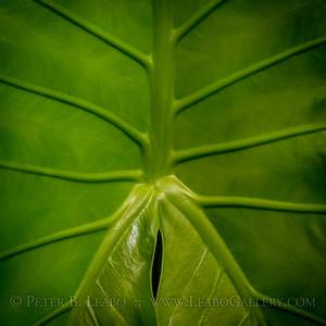 20200826-140705 Elephant ear leaf
