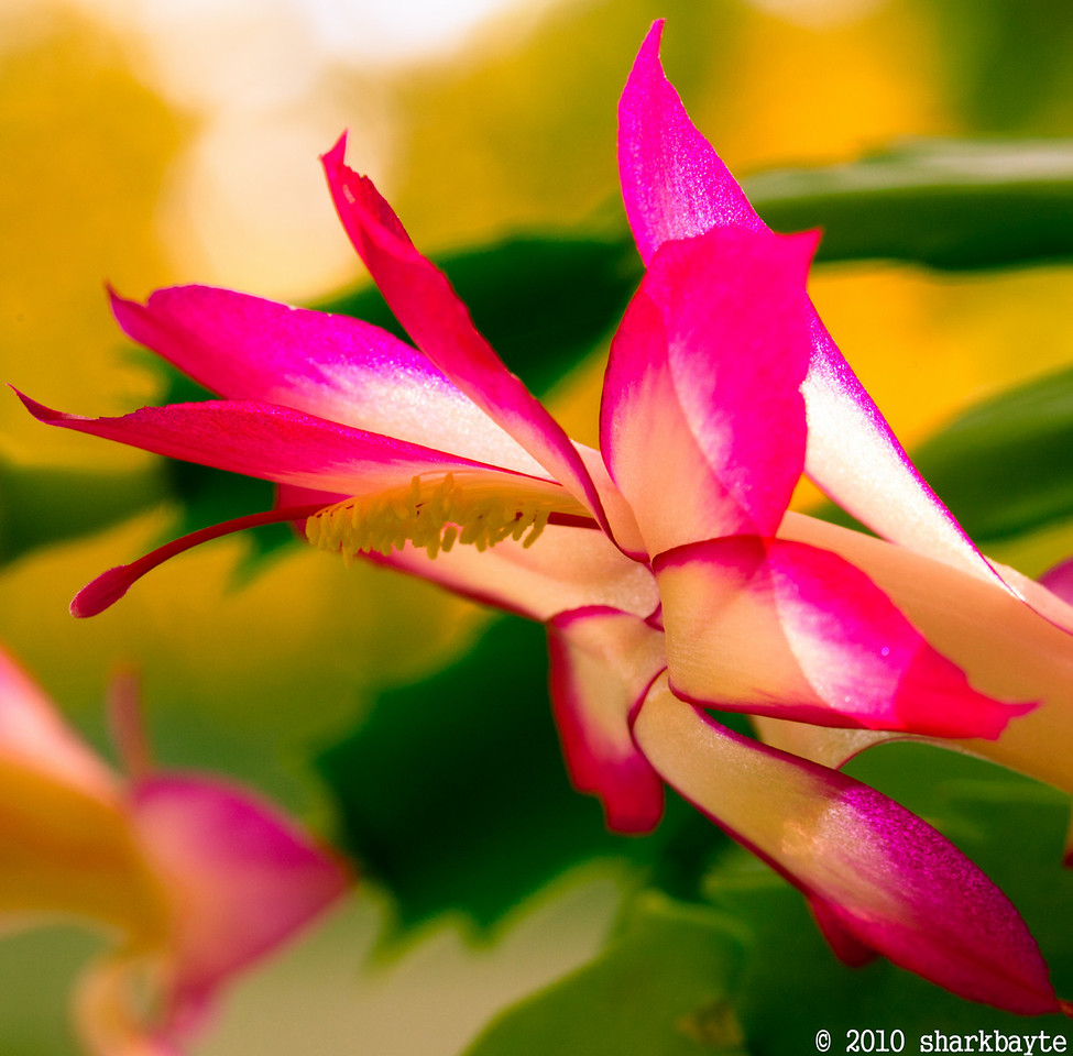 I was told this was a Christmas Cactus, but it seems to bloom close to Thanksgiving each year. Day 322 #365Project @sharkbayte