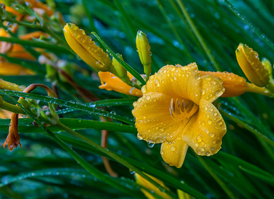 Morning Dew on Day Lillies