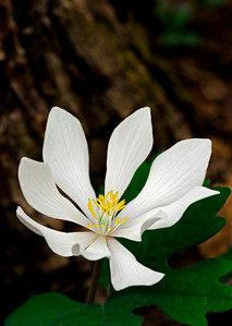 The bloodroot blooms in early spring in western North Carolina.
