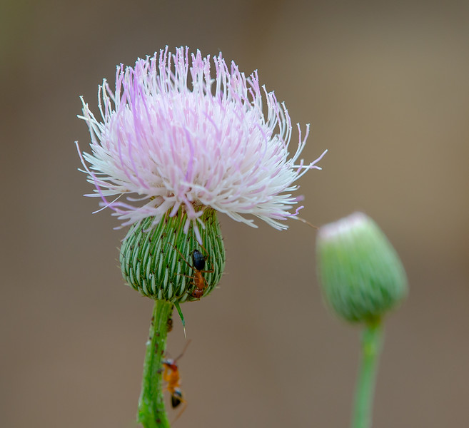Nuttall's Thistle (Cirsium nuttalli)