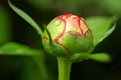 The bud of a Peony.