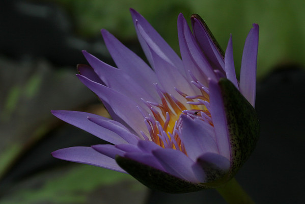 Water Lily; Missouri Botanical Garden; St. Louis, Missouri