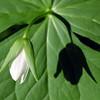 A trilium bud with it's shadow.