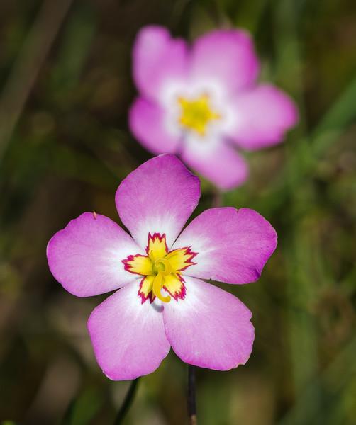 Marsh Pink (Sabatia stellaris)
