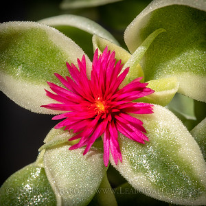 20200630-153205 succulent flower