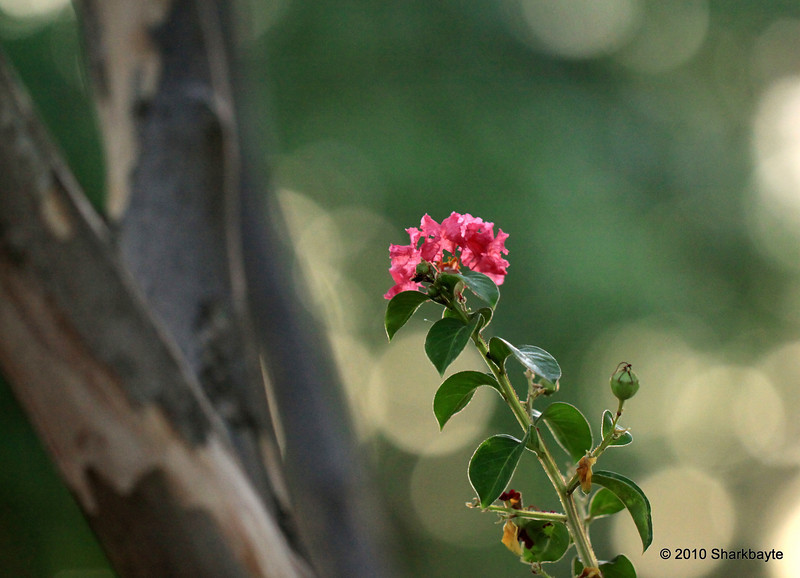 Day 192/365 - The lone flower. This stem was growing between several tree branches all the other blooms are at the top of the tree. #365Project Settings: 100.0mm f/2.8 1/250s ISO: 1600 @sharkbayte