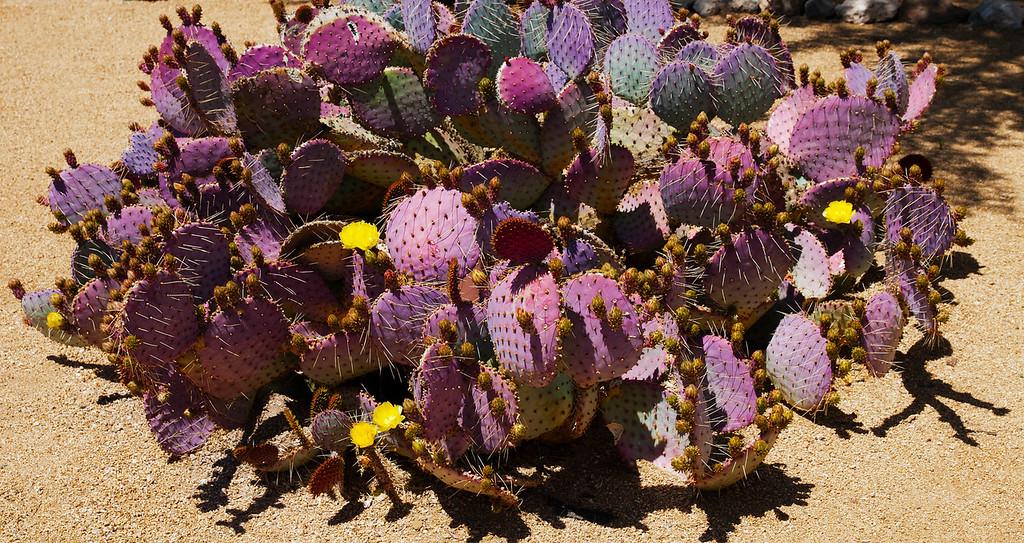 Blue Blade Prickly Pear Cactus