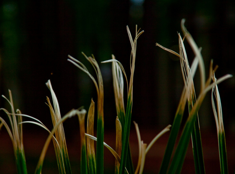 #365 Project. Day 104-Pampas grass, I love this grass, although it has been butchered this year. I was playing with this file in raw. tweaked very little. (2010.04.14) this is the second version as there was a light from the building in the background which I thought would be distracting.