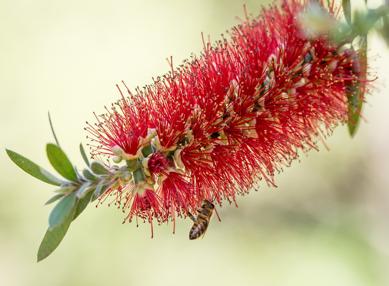 Bee on Bottlebrush Flower (Callistemon rigidus)