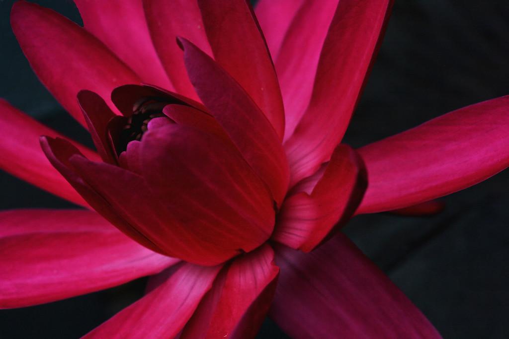 Water Lily; Missouri Botanical Garden; St. Louis, Missouri