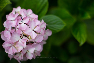 Pink hydrangea on a dark day. Warrnambool, Australia.  See more photos in the archive