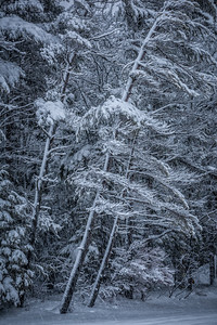 Acadia National Park, Maine, USA.  Snow-covered trees during blizzard.