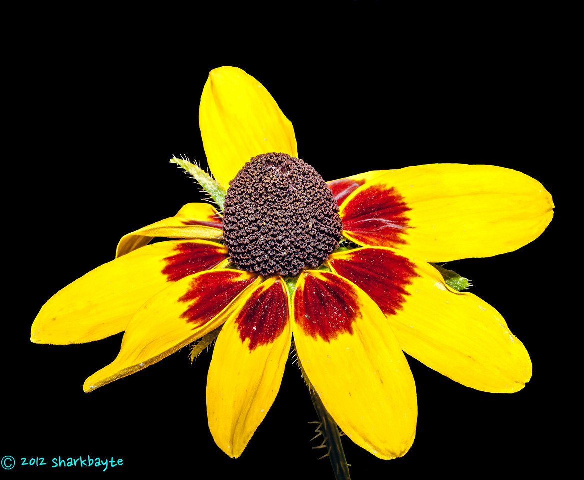 Yellow and black<br /> July 14, 2012-Posting very late tonight. Another flower from my neighbors yard. This time I used flash to take this shot. Day 14:365