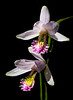 Rose Pogonia Orchid (Pogonia ophioglossoides)