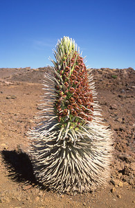The silver sword plant is found only within a 250 acre region on Mt. Haleakala, Maui.