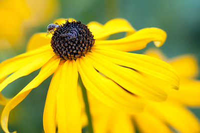 Close-up of a yellow Rudbeckia with insect on the head or dome-shaped disc-floret.