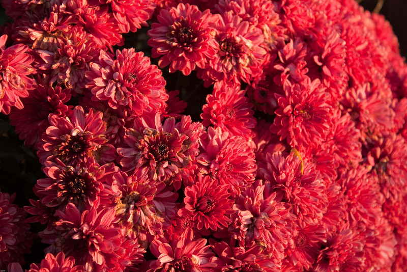 Mums in the late afternoon sun