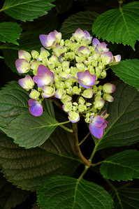 A hydrangea photographed in my neighbors garden