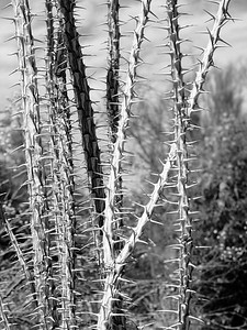Ocotillo.  Arizona.