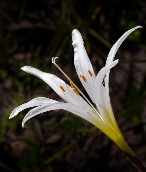 Atamasco Rain Lily (Zephyranthes atamasca)