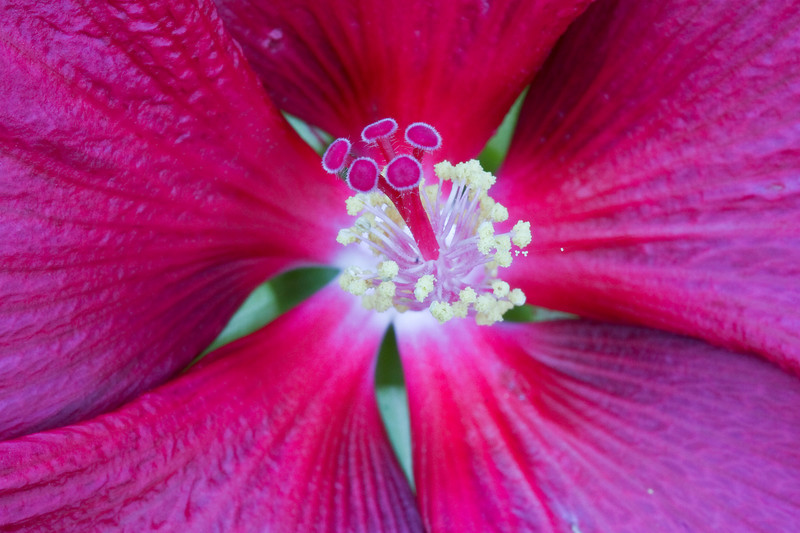 Hibiscus Flower <br /> no flash there