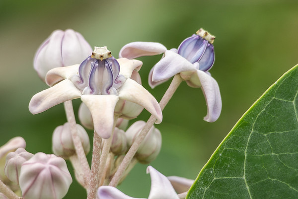 "Purple Crown Flower (""Giant Indian Milkweed,"" Calotropis gigantea)"