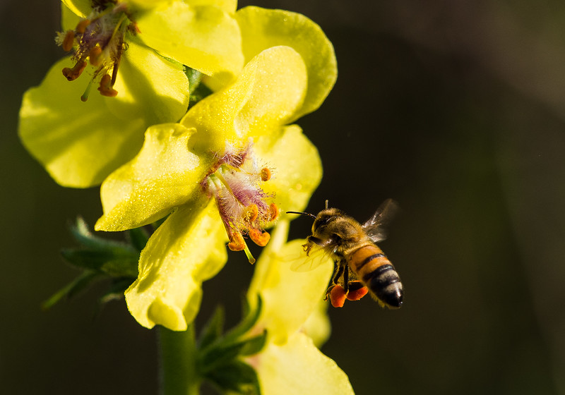 Moth Mullein with Honey Bee