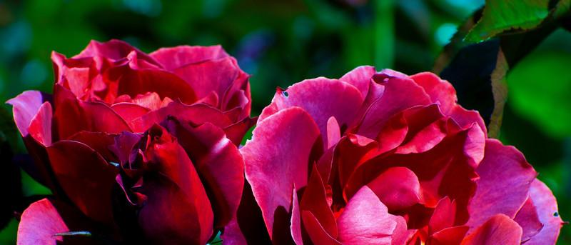 Honey Perfume Rose