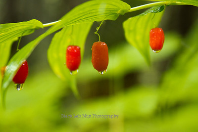 Twisted Stalk Berries