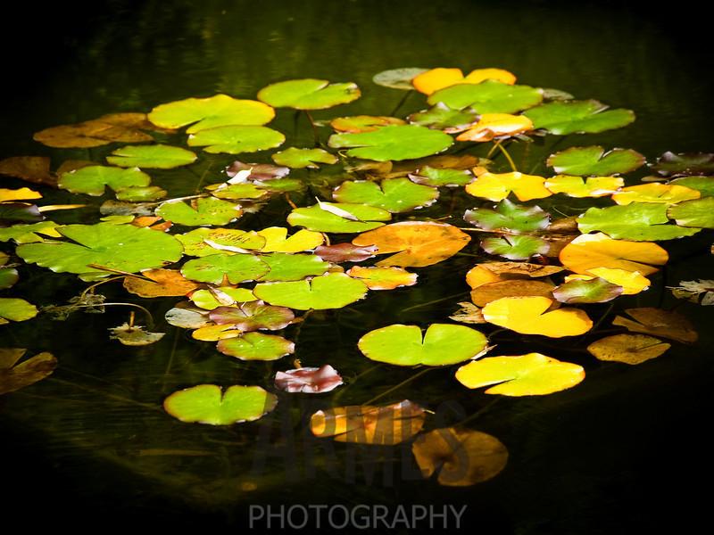 Water lilies<br /> Japanese Tea Garden, San Francisco, CA
