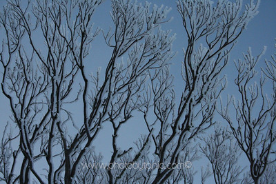 Bare branches. Mt Hotham, Victoria, Australia.  See more photos in the archive